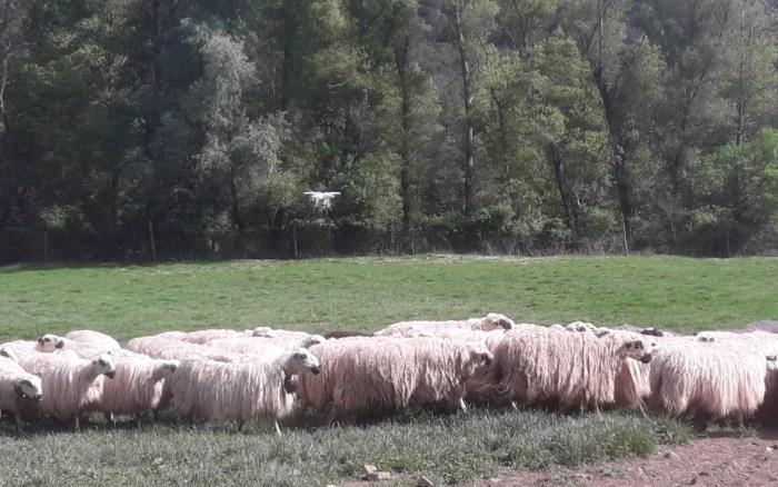 DRONES. Ovino en La Garcipollera. (FOTO: Gobierno de Aragón)