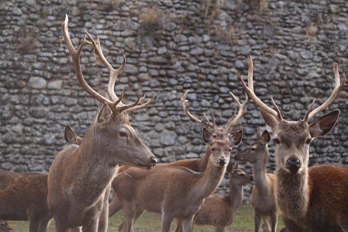 Ciervos en la Ciudadela de Jaca. (FOTO: Rebeca Ruiz)
