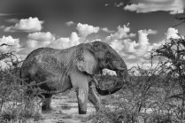 Elephant_Etosha