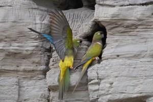 Perroquet des falaises