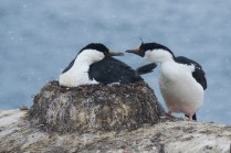 antarctique_cormoran-40-1