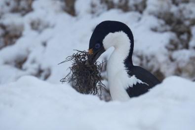 antartique_cormoran-55-1