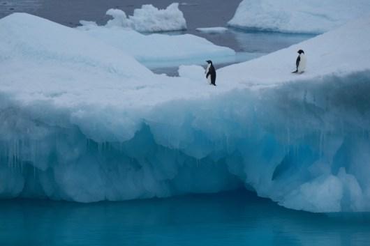 antartique_manchot_adelie-5-1-1