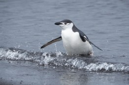 antartique_manchot_jugulaire-44-1