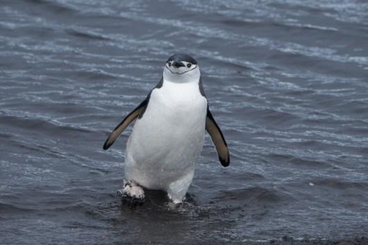 antartique_manchot_jugulaire-72-1