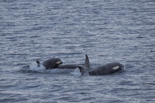 antartique_orque-12-1