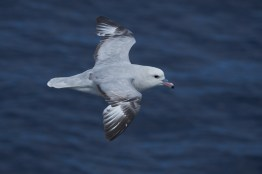 antartique_petrel-78-1