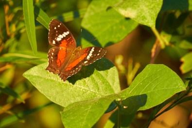 Estoros_del_Ibera_Papillon