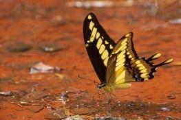 Iguasu_Papillon 6