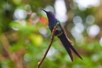 Iguazu_Colibri 20