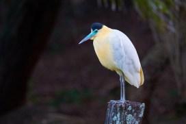 Pantanal_Héron 20