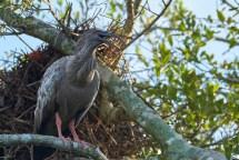 Pantanal_Ibis 6