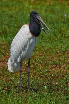 Pantanal_Jabiru 11