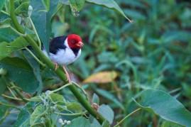 Pantanal_Passereau