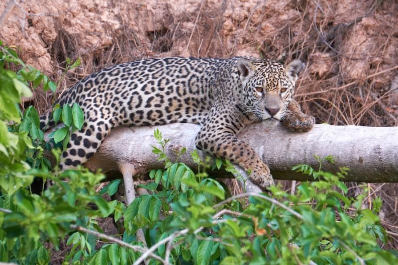 Pantanal : 100% oiseaux, 100% jaguars