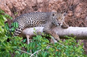 Brésil_Pantanal_Jaguar 46 2