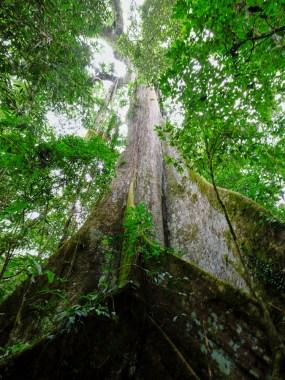 Plus de 80m de haut pour le ceibo un des arbres les plus vieux du monde