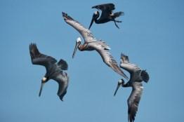 Pélicans se préparant à plonger