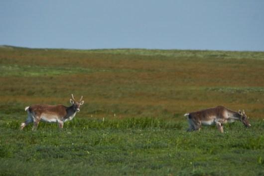 Jeune couple de Caribou