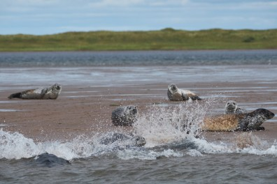 Phoque de Miquelon à l'eau