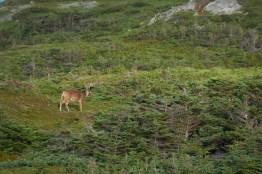 Cerf de Virginie au cap de Miquelon