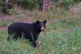 Ours noir de Matane