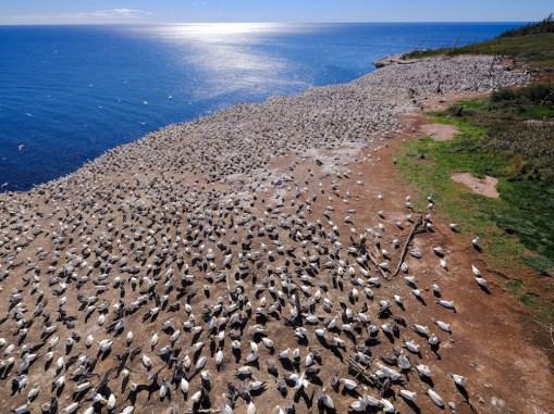 Colonie de Fou de Bassan sur l'île de Bonaventure
