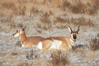 Pronghorn (Antilope américaine)