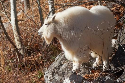 Chèvre sur la route du Grand Teton