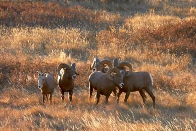 Période du rut pour les mouflons dans le Parc National Théodore roosevelt