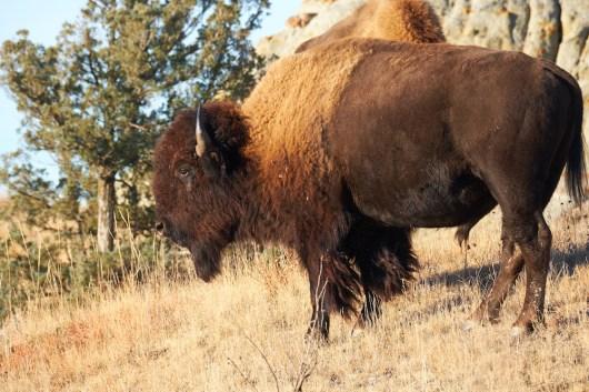 Gros papa bison en rut
