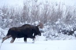 Elan suit une femelle dans le Yellowstone