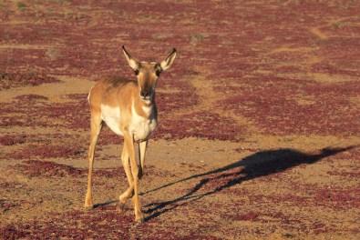Antilope américaine