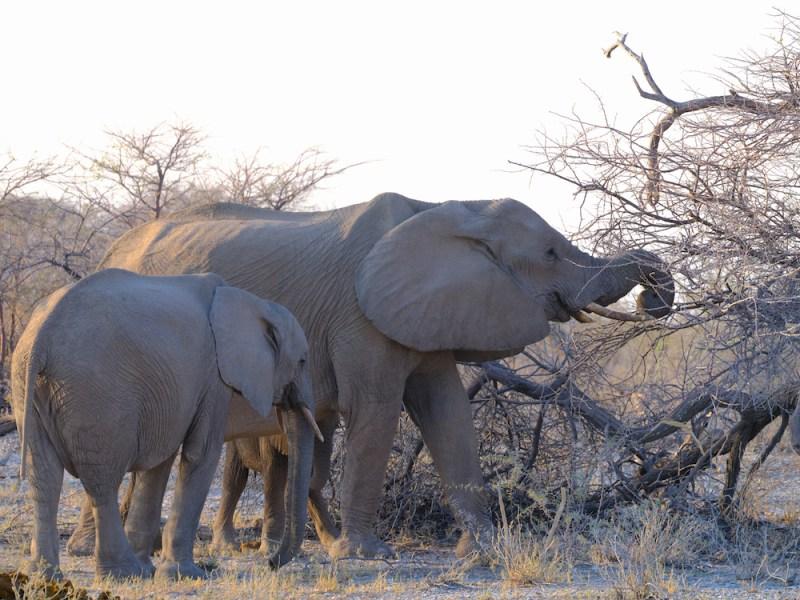 Elephant de Mudumu