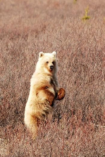 Grizzly bear cub Denali