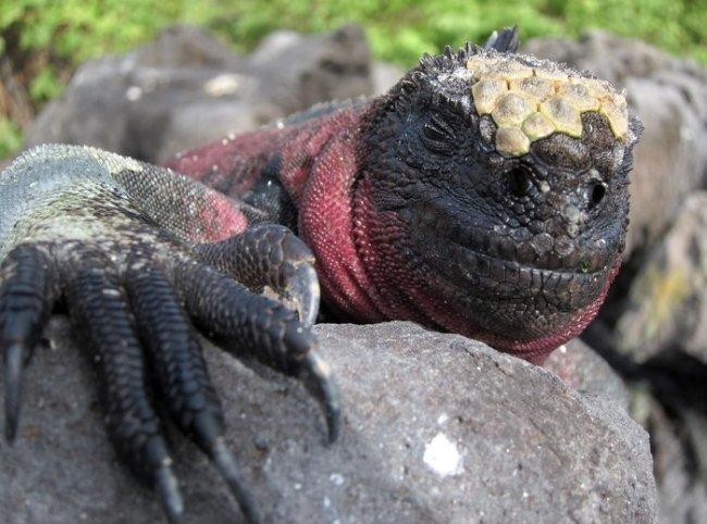 Marine iguana sunworshipping, Galapagos
