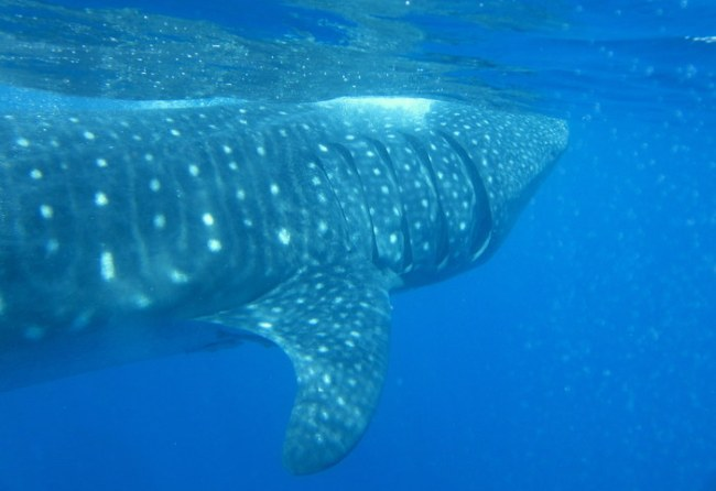 swimming with whale sharks in Isla Mujeres Mexico