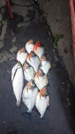 The catches so far...9 piranha and 1 other tasty fish