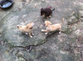 The 3 Omagua Pups