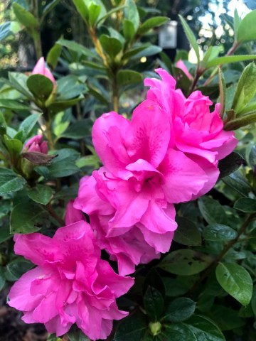 Encore Azaleas - Autumn Carnation. Long Blooming Flower