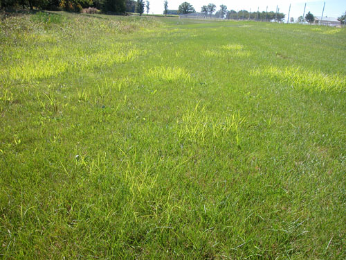 patches of yellow nutsedge in lawn