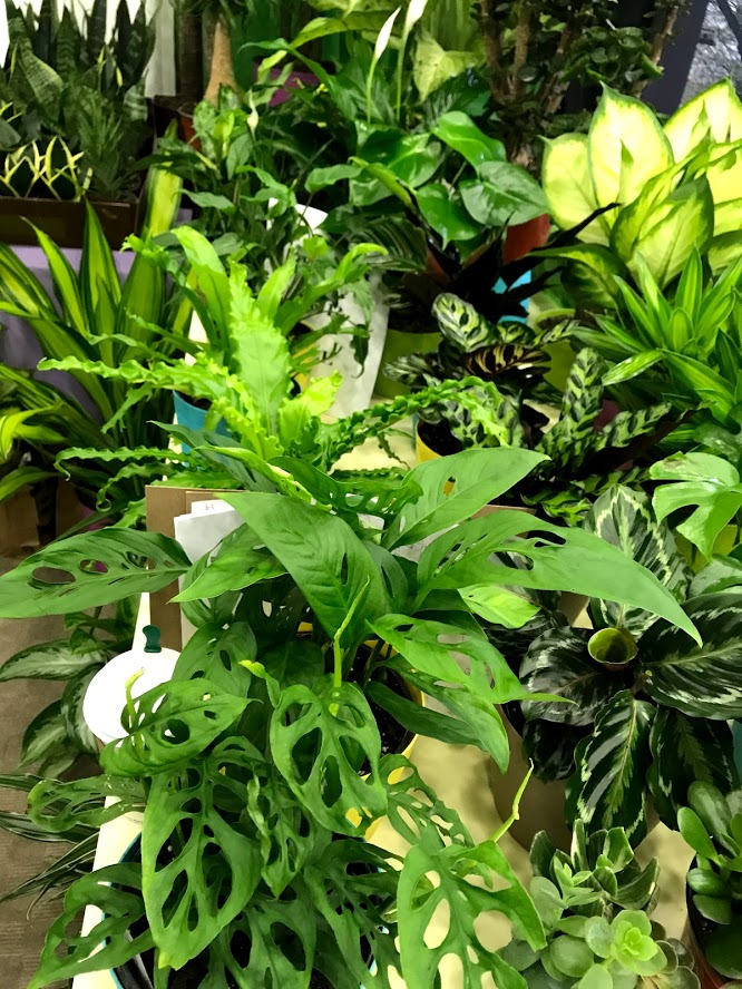 swiss cheese plant and tropical foliage from fantasy foliage