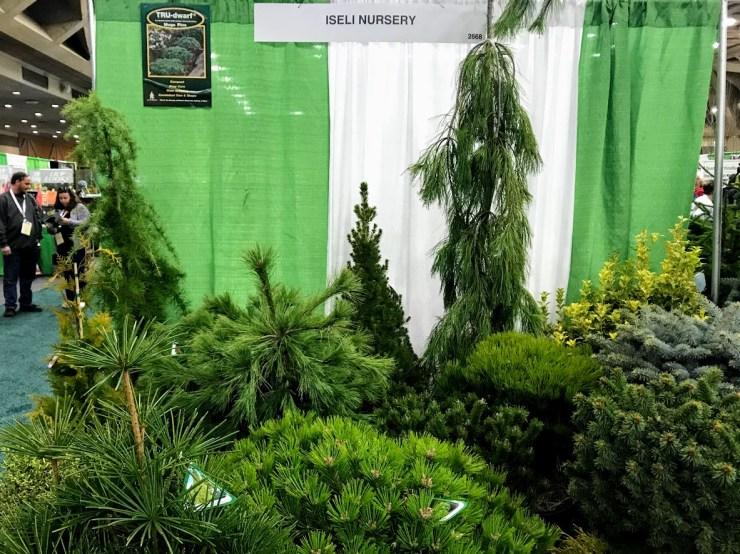 evergreens from iseli nursery
