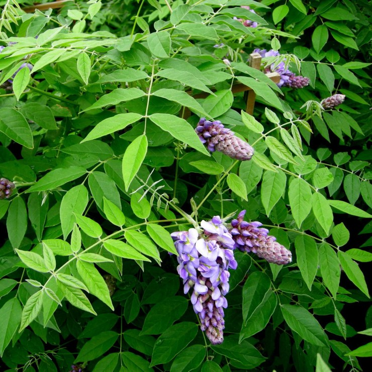 American Wisteria for Butterfly Garden