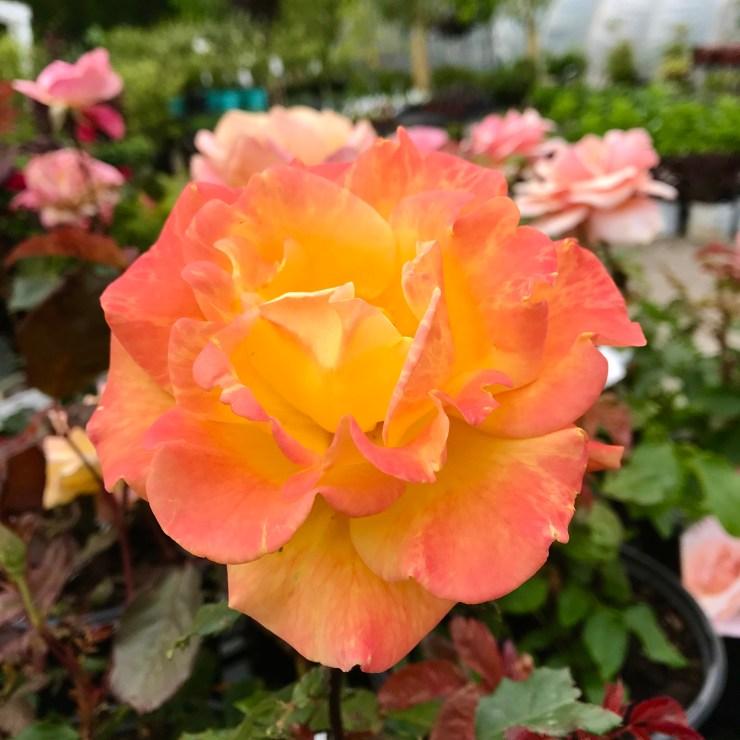 Rio Samba Roses