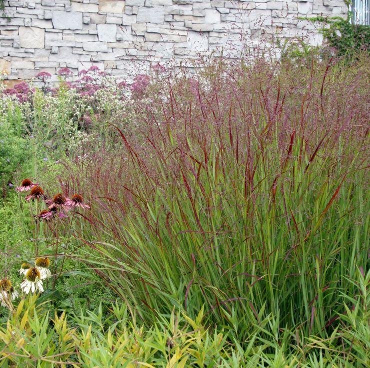Shenandoah Switchgrass - Ornamental Grasses for Fall