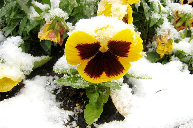 how long do pansies last