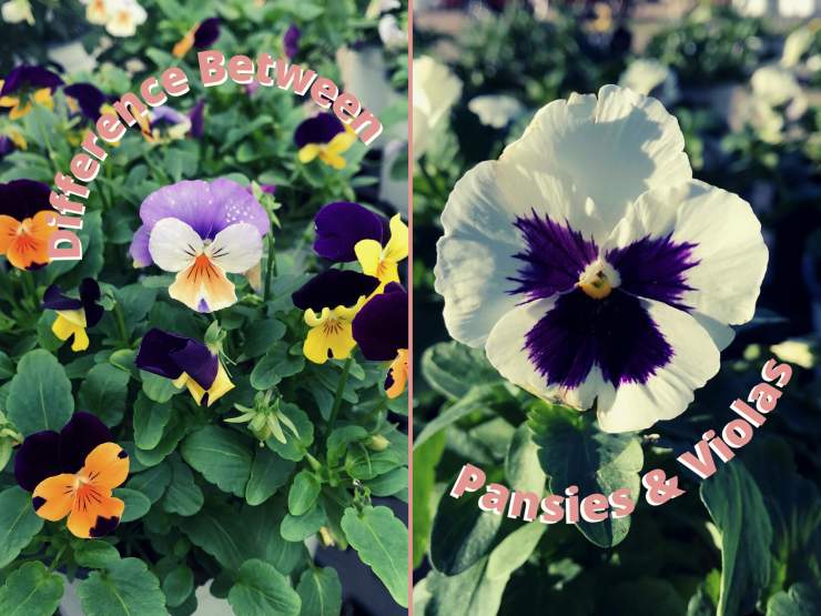 difference between pansies and violas
