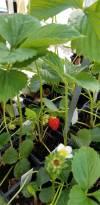 Vegetables fruit strawberries