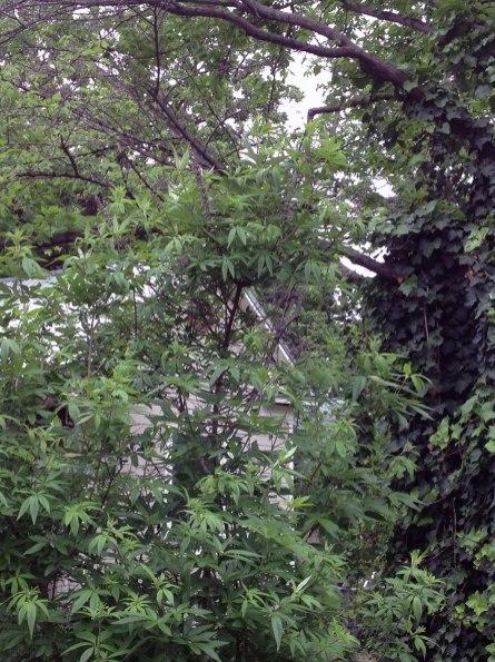 Chaste Berry tree (Vitex agnus-castus)